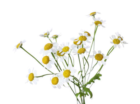 Bunch of beautiful chamomile flowers on white background