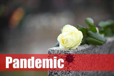 White rose on grey granite tombstone outdoors. Outbreak of pandemic disease
