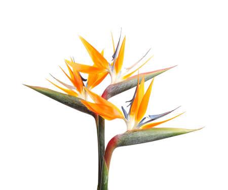 Oiseau de paradis fleurs tropicales isolated on white