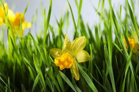 Bright spring grass and daffodils with dew, closeup Banco de Imagens