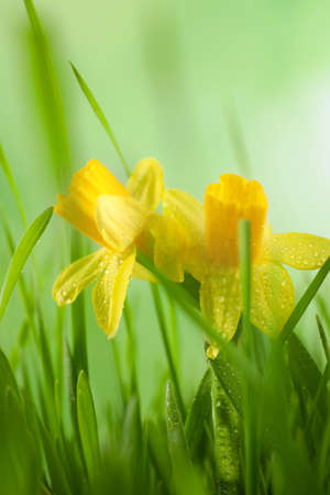 Spring green grass and bright daffodils with dew, closeup