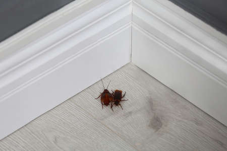 Cockroaches on wooden floor in corner at home. Pest control