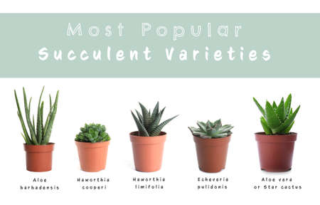 Most popular succulent varieties. Houseplants and names on white background Standard-Bild