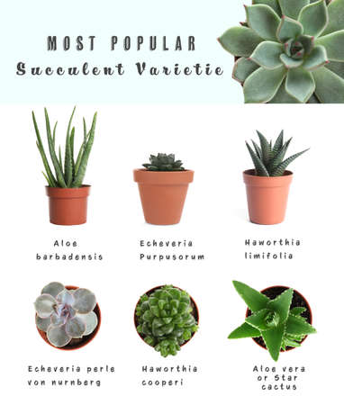 Most popular succulent varieties. Houseplants and names on white background
