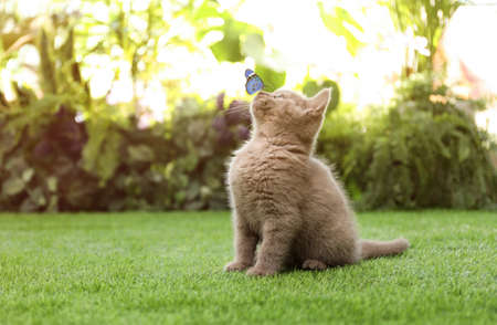 Scottish straight cat playing with butterfly on green grass