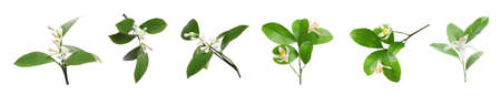 Set of beautiful blooming citrus flowers with green leaves on white background. Banner design