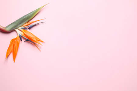 Bird of paradise tropical flower on pink background, top view. Space for text
