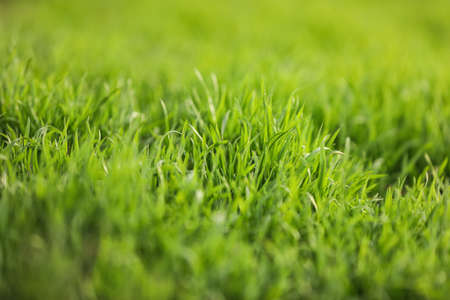 Beautiful green grass outdoors on spring day, closeup view