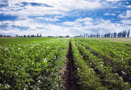 Picturesque view of blooming potato field against blue sky with clouds on sunny day. Organic farming