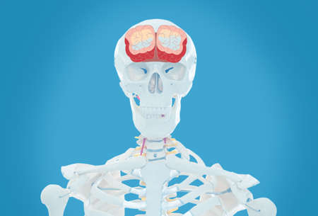 Artificial human skeleton model on light blue background. Medical scan of brain  Archivio Fotografico