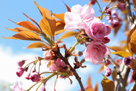 Closeup view of sakura tree with beautiful blossom outdoors. Japanese cherry