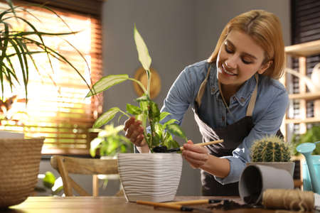 Young woman potting Dieffenbachia plant at home. Engaging hobby