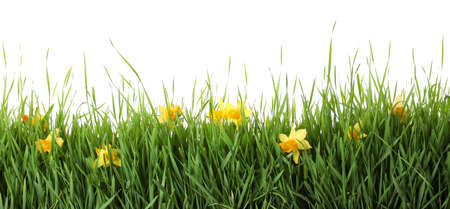 Spring green grass and bright daffodils on white background Stockfoto