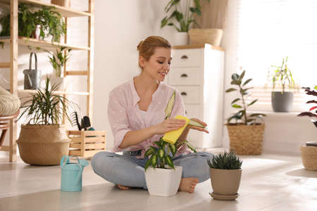 Young woman wiping Dieffenbachia plant at home. Engaging hobby