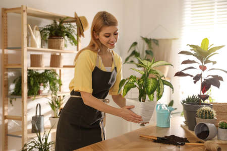 Young woman with Dieffenbachia plant at home. Engaging hobby 版權商用圖片