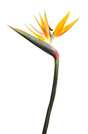 Oiseau de paradis fleur tropicale isolé sur blanc Banque d'images