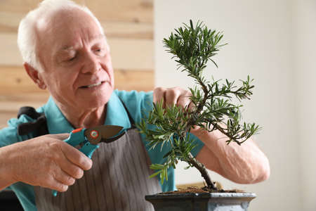 Senior man taking care of Japanese bonsai plant indoors. Creating zen atmosphere at home 版權商用圖片