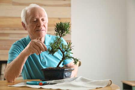 Senior man taking care of Japanese bonsai plant indoors. Creating zen atmosphere at home Foto de archivo