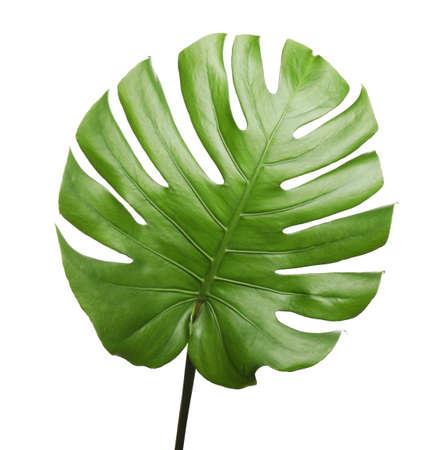 Fresh green tropical leaf isolated on white