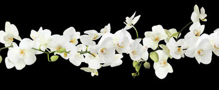 Branch of beautiful orchid on black background. Banner design
