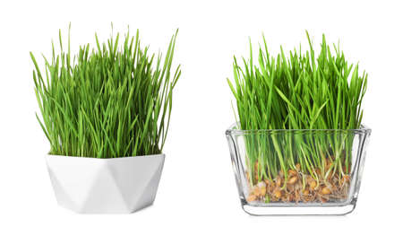 Bowls with fresh wheat grass on white background Stock Photo