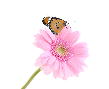 Flower with beautiful painted lady butterfly isolated on white