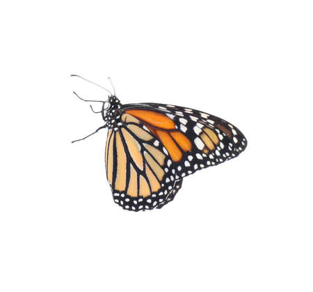 Beautiful fragile monarch butterfly isolated on white Imagens