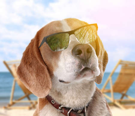 Adorable Beagle dog with sunglasses on sunny beach