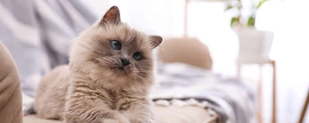Birman cat on sofa at home, space for text. Banner design