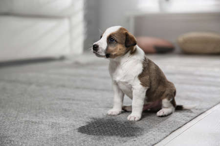 Adorable puppy near wet spot on carpet indoors Imagens