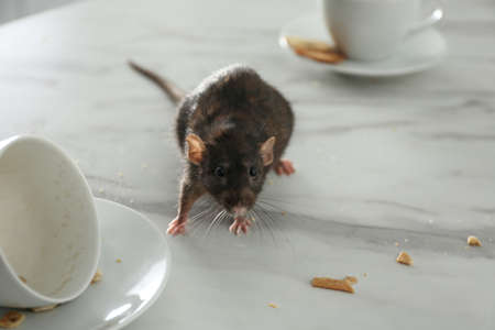 Rat near dirty dishes on table. Pest control