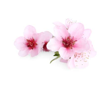 Beautiful tree blossom isolated on white. Spring season