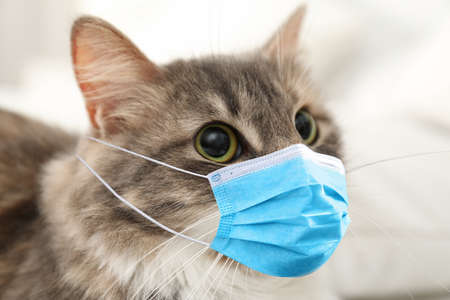 Cute fluffy cat in medical mask indoors, closeup. Virus protection for animal