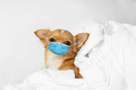 Small Chihuahua dog in medical mask at home. Virus protection for animal