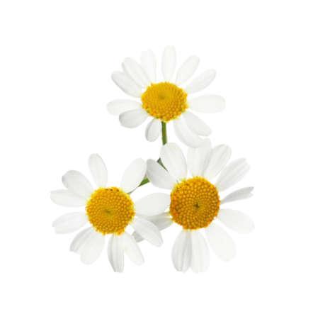 Beautiful fresh chamomile flowers isolated on white