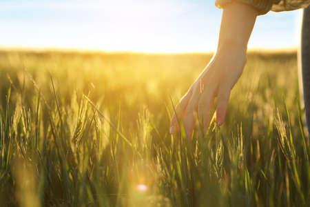 Frau im Feld mit unreifen Stacheln an einem sonnigen Tag, Nahaufnahme