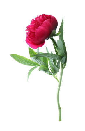 Beautiful red peony with leaves isolated on white