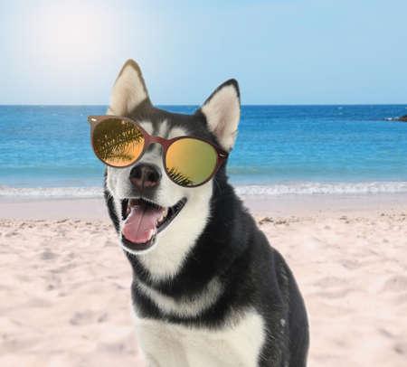 Cute Husky dog with sunglasses on sunny beach