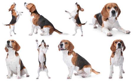Set of beagle dogs on white background