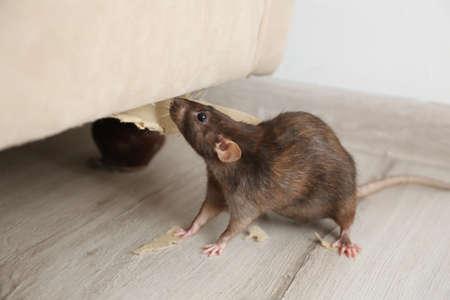 Rat near damaged furniture indoors. Pest control Stock Photo
