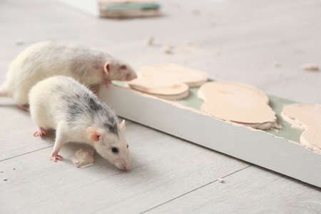 White rats gnawing baseboard indoors. Pest control