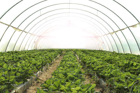 Rows of strawberry seedlings growing in greenhouse Standard-Bild