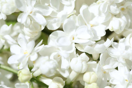 Closeup view of beautiful lilac shrub with white flowers outdoors Foto de archivo