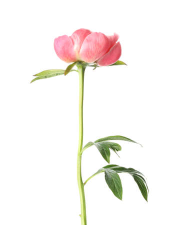 Beautiful blooming pink peony isolated on white