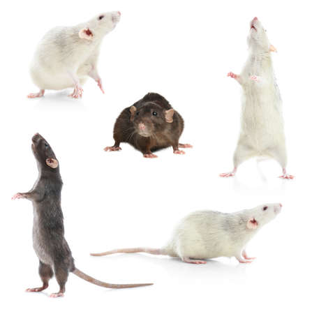 Set of cute little rats on white background