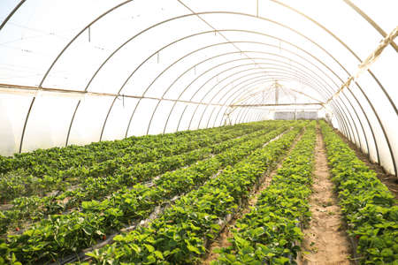 Rows of strawberry seedlings growing in greenhouse Banque d'images