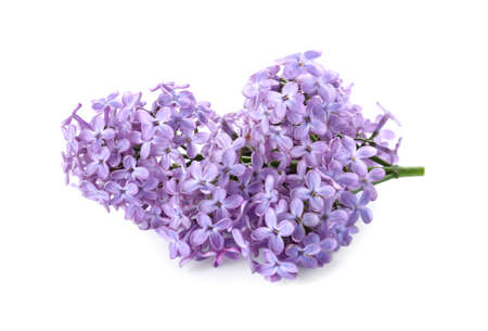 Beautiful blossoming lilac branch isolated on white