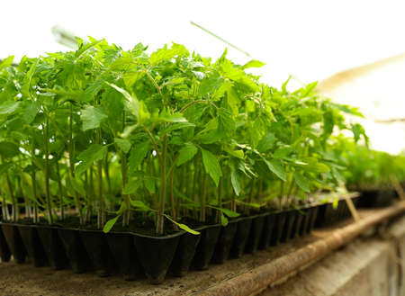 Many green tomato plants in seedling tray on table