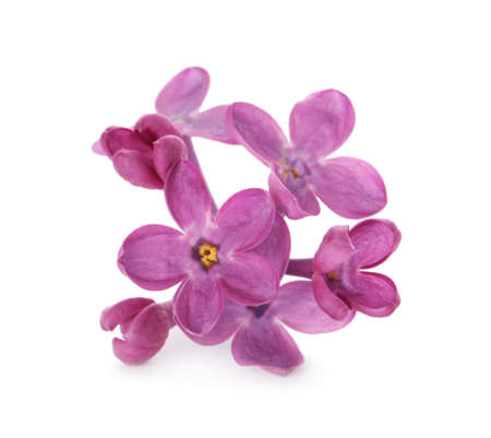 Beautiful purple lilac blossom isolated on white