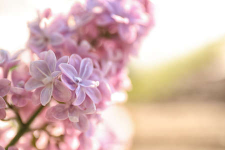 Closeup view of beautiful blooming lilac shrub outdoors on sunny day